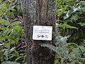 Illicium anisatum - Miyajima Natural Botanical Garden - DSC02330.JPG
