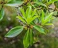 Illicium anisatum in Hackfalls Arboretum (2).jpg