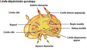 Illu lymph node structure az.jpg