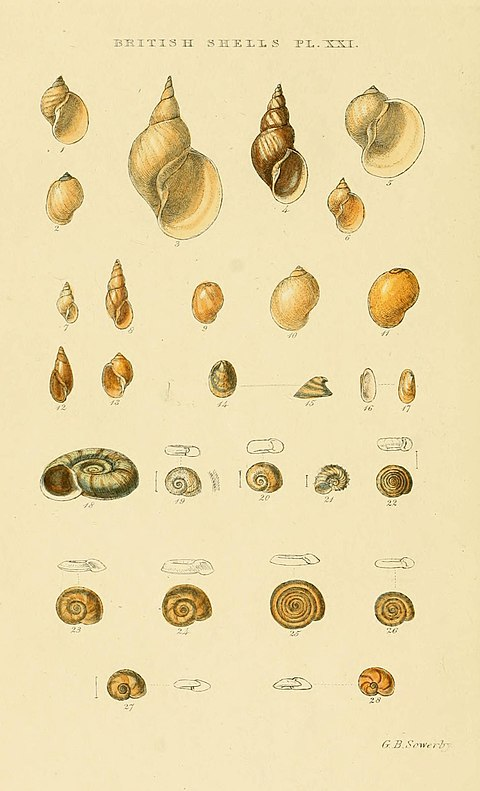 Illustrated Index of British Shells Plate 21.jpg