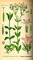 Illustration Centaurium erythraea0.jpg