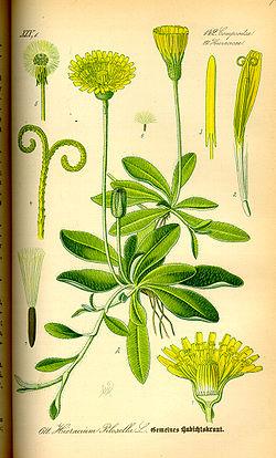 250px-Illustration_Hieracium_pilosella0 dans Mon repertoire des plantes les moins usitees