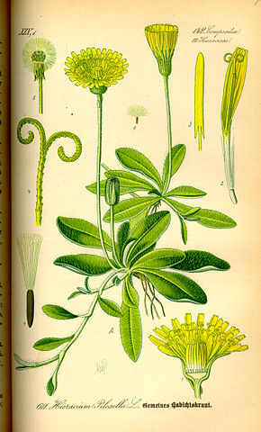 Description de l'image  Image:Illustration Hieracium pilosella0.jpg.