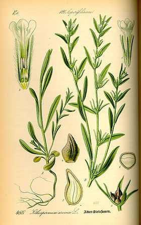 Illustration Lithospermum arvense0.jpg