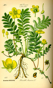 Illustration Potentilla anserina0.jpg