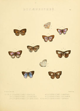 Illustrations of diurnal Lepidoptera 92.jpg