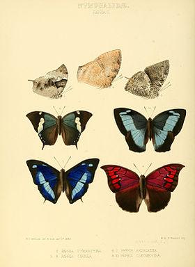 Illustrations of new species of exotic butterflies Paphia II.jpg