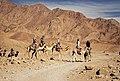 In Dahab - South Sinai - Camels.jpg