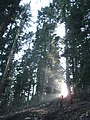 In the forest, Picea abies.jpg