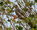 Indian Grey Hornbill (Ocyceros birostris) in Hyderabad W IMG 8884.jpg