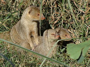 Indian grey mongoose - These inquisitive Indian grey mongoose pups  at Lucknow Zoological Park.