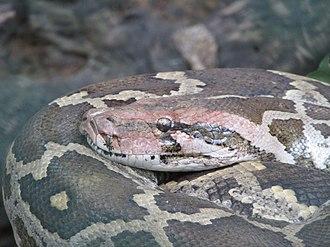 Python molurus - The close-up in Bannerghatta National Park, Bangalore, Karnataka, India