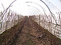 Inside fruit polytunnel in Caring Farm - geograph.org.uk - 1217863.jpg