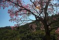 Ipê-roxo (Handroanthus impetiginosus) em contra-luz.jpg