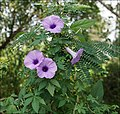 Ipomoea cairica 07445 (cropped).JPG