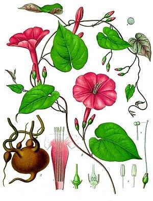 Ipomoea - Vera Cruz jalap (I. purga) from Köhler's ''Medicinal Plants''