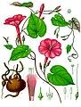 Ipomoea purga - Köhler–s Medizinal-Pflanzen-077.jpg