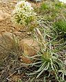 Ipomopsis spicata.jpg