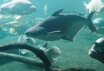 iridescent shark catfish Pangasius hypophthalmus