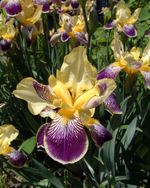 Iris flowers (Indiana).png