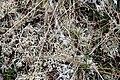 Isländisches Moos (Cetraria islandica) 6100.JPG