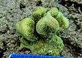Isopora palifera GBR 3.jpg