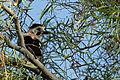 Israel. Eurasian Jay (15233585519).jpg