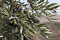 Israel Olive Picking (8157001201).jpg