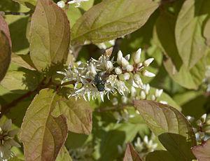 English: Itea virginica 'Henry Garnet', photo ...