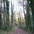 Ivy-clad alders - geograph.org.uk - 1053519.jpg