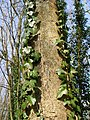 Ivy edged tree in Coxhill woods. - geograph.org.uk - 407128.jpg