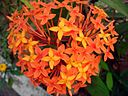 Ixora red flowers