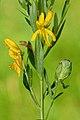 Jaapiella genisticola on Genista tinctoria (31770129692).jpg