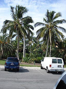Coconut palms at the Gizella Kopsick Palm Arboretum in the northeastern part of the city. Jamaican tall Coconuts.JPG