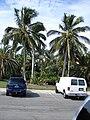 Jamaican tall Coconuts.JPG