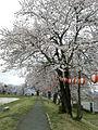 Japanese Cherry Blossom -桜- (2424562611).jpg