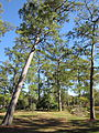 Japanese Garden, Hermann Park, Houston, trees in 2012.JPG