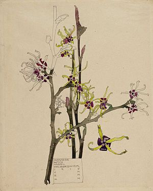 Margaret Macdonald Mackintosh - Japanese Witch Hazel, Walberswick, 1915, one of a number of botanical illustration made collaboratively by Margaret and her husband Charles, and signed with their initials.