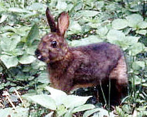 Japanese hare - A Japanese hare in brown pelage