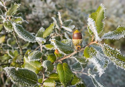 Holm oak acorn (Quercus Ilex) during hoar frost in the Botanical Garden of Olarizu. Vitoria-Gasteiz, Basque Country, Spain