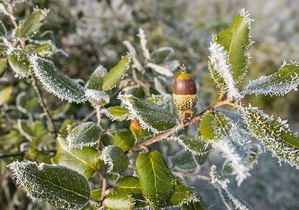Holm oak acorn (Quercus Ilex) during hoar frost in the Botanical Garden of Olarizu. Vitoria-Gasteiz, Basque Country, Spain