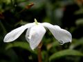 Jasminum polyanthum.png