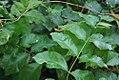 Jasminum sambac 0zz.jpg
