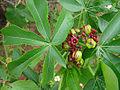 Jatropha excisa (8628498977).jpg