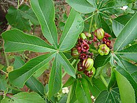 Jatropha excisa