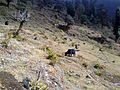 Jiri-beautiful-2800m-Yak grazing-nov 2012.jpg