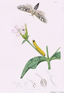 220px John Curtis British Entomology Plate 722 Wood Leopard Moth Zeuzera aescult