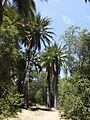 Jubaea chilensis (scott.zona) 004.jpg