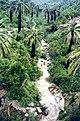 Jubaea chilensis Quebrada El Quiteño (Fundación JBN de Viña del Mar) 21.jpg