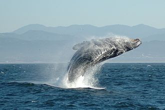 Cetacean surfacing behaviour - Humpback whale breaching